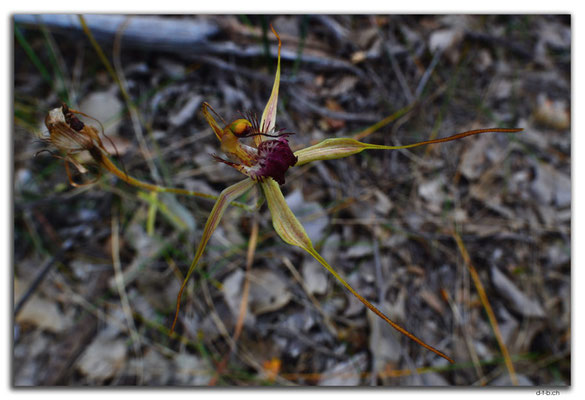 AU0705.Perth.Kings Park.Carousel Spider Orchid