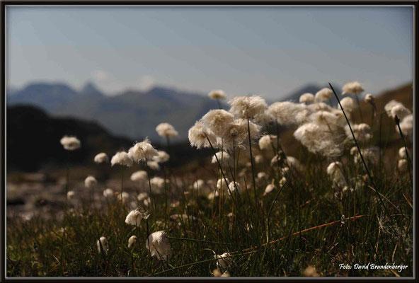 A0300.Wollgras.Pischa,Klosters,CH
