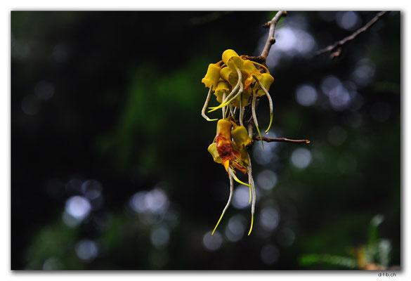 NZ0184.Whangarei.Kowhai - Sophora spp.
