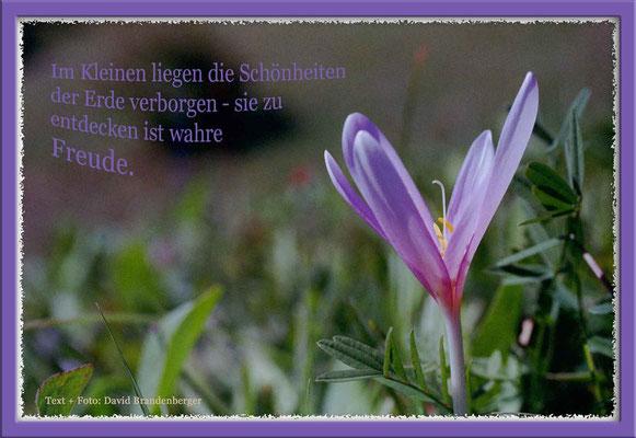S0094.Herbstzeitlose,Schmitten,CH. Text: d-t-b