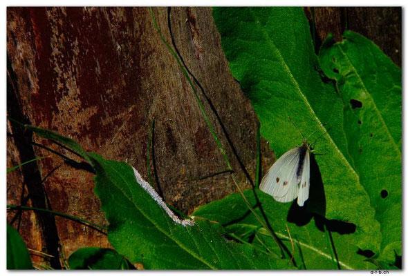 PL063.Schmetterling