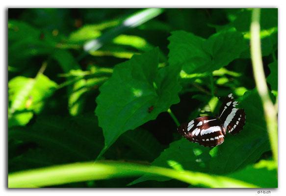 ID0078.Ubud.Schmetterling