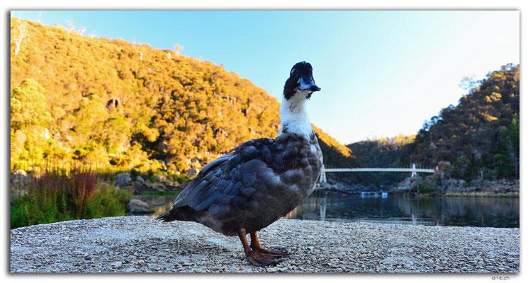 AU1275.Launceston.Cataract Gorge.First Basin.Duck