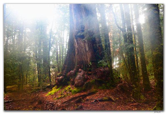 AU1398.Overland Track.Mystischer Wald