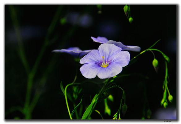 KZ0111.Blume