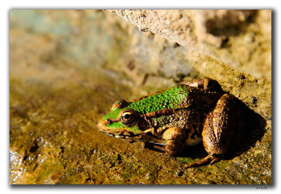 GR0006.Frosch