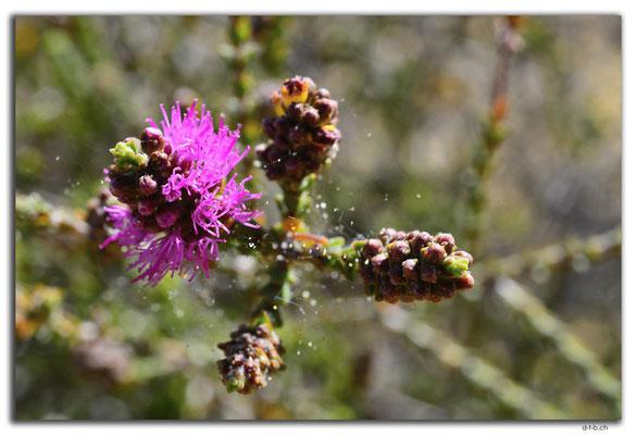 AU0846.Neds Corner Rd.Blume