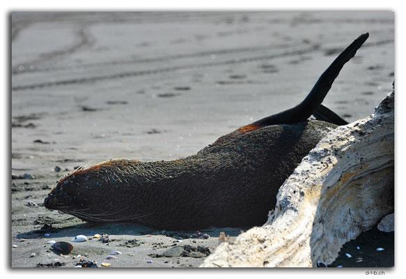 NZ0415.Waiinu Beach.Sealion