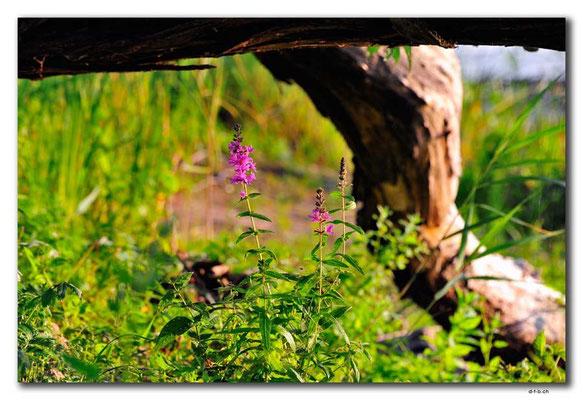 PL226.Biebrza NP.Blume