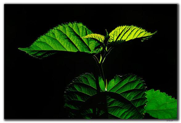 TR0626.Tarsus.Blätter
