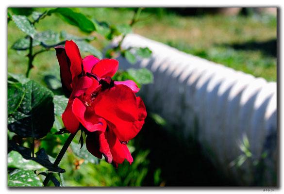 TR0619.Mersin.Rose im Museumsgarten