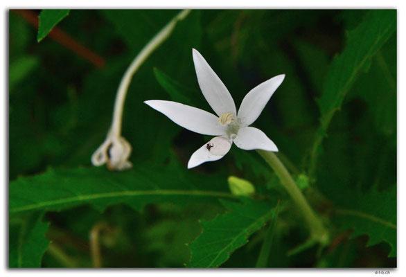 ID0106.Tegallalang.Blume