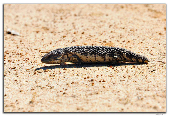 AU0544.Bobtail Skink or Blue Tongue Lizard