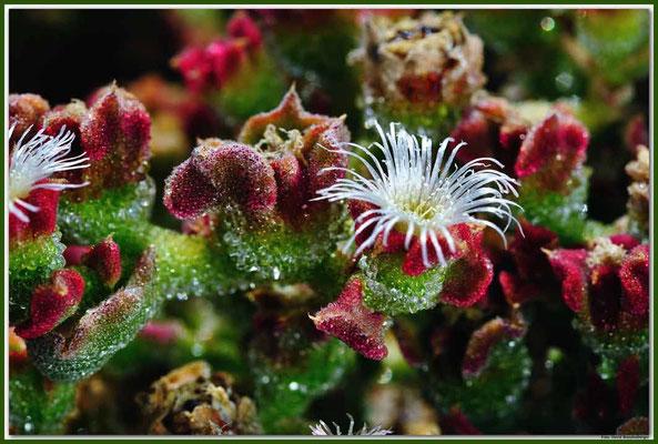 LAN010 Sukkulentenblüte