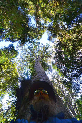 Neuseeland.Waipoua. Kauri Baum