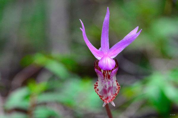 CA0156 Orchidee,Birkenhead lake