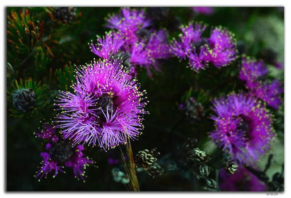 AU0530.Pincushion Cone Flower