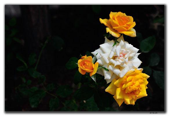 CN0223.Yinchuan.Rose