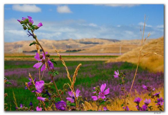 NZ0687.Seddon.Pink.Flowers and Pink Saltlakes