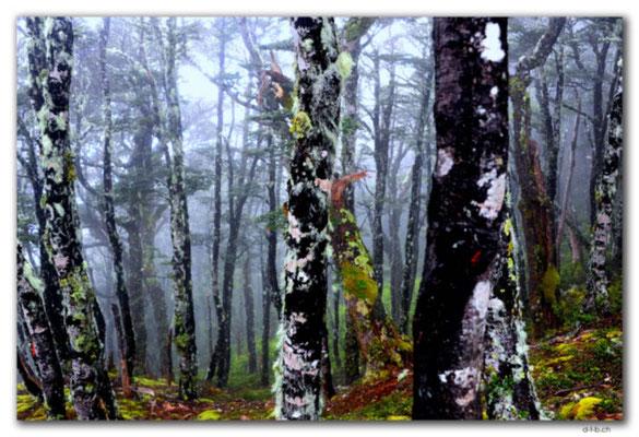 NZ0661.Nelson Lakes N.P.Misty Forest