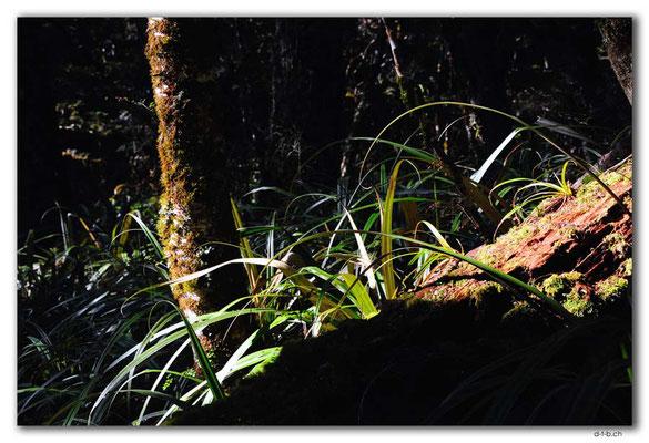 NZ0527.Kahurangi N.P.Forest