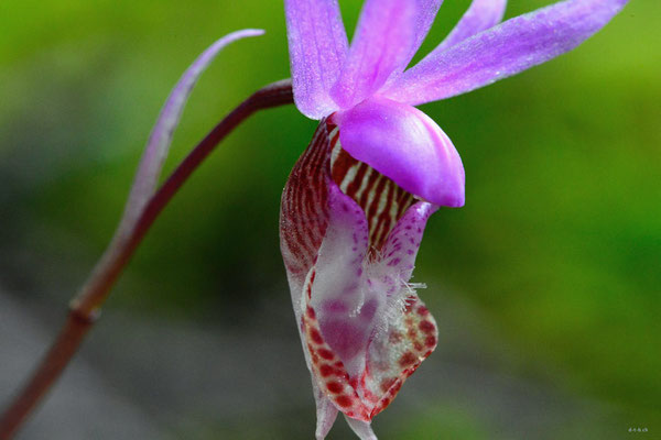 CA0157 Orchidee,Birkenhead lake