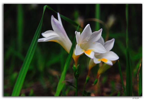 NZ0210.Whangarei.Blume