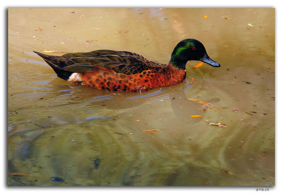 AU1227.Blackburn Lake Sanctuary. Chestnut Teal