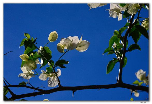 FJ0086.Vatia Beach. Baumblüten