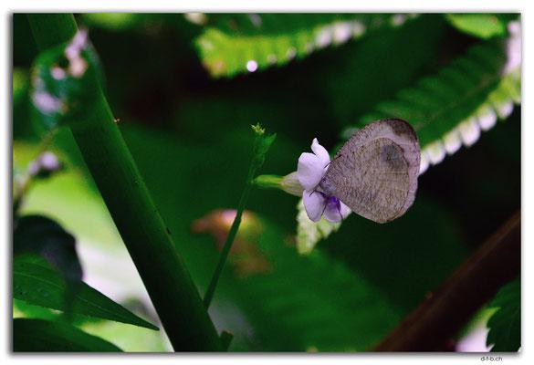 ID0083.Ubud.Schmetterling