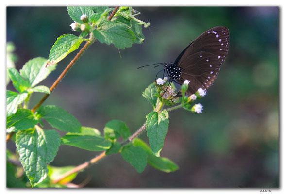 FJ0065.Vatia Butterfly