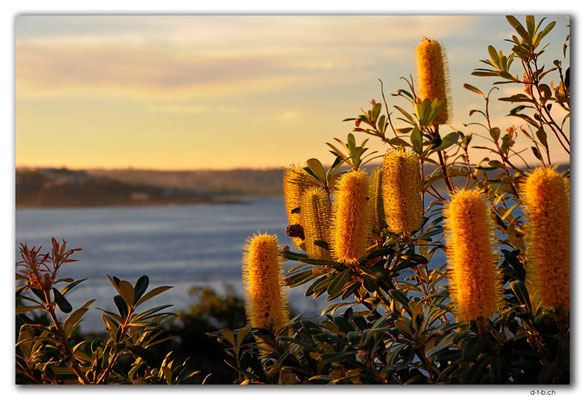 AU1545.Sydney.Shelly Headland Upper Lookout.Banksia