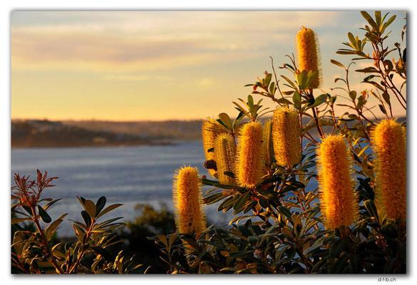 AU1545.Sydney.Shelly Headland Upper Lookout.Banksia