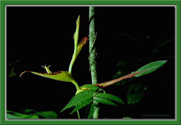 171.Blume,Tortuguero N.P,Costa Rica