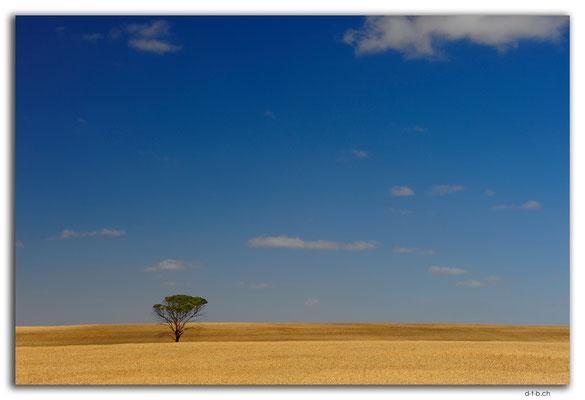 AU1081.York Peninsula.Baum im Feld