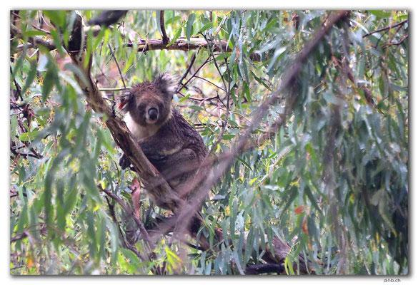 AU1104.Adelaide.Morialta Falls.Koala