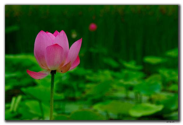 CN0273.Hohhot.Lotus