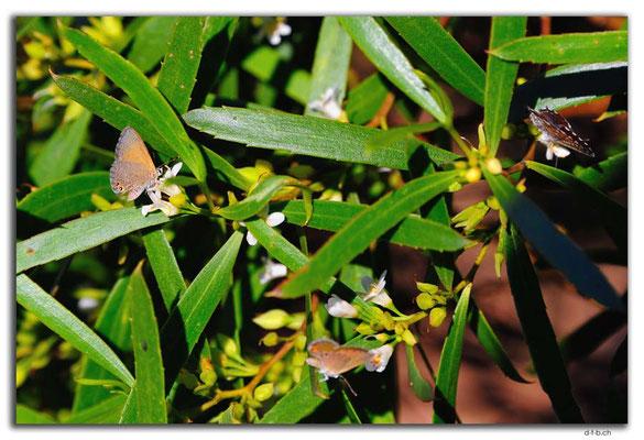 AU0950.Nullarbor N.P.Schmetterlinge