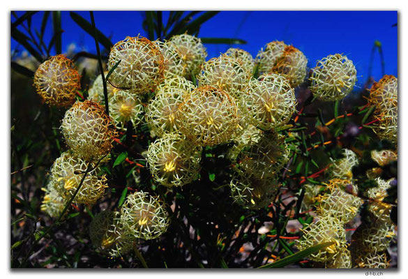 AU0434.Blume