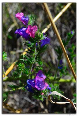 AU0954.Nullarbor N.P.Blume