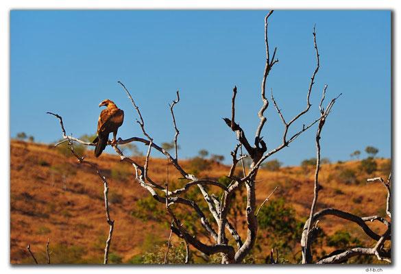 AU0196.Bird of prey