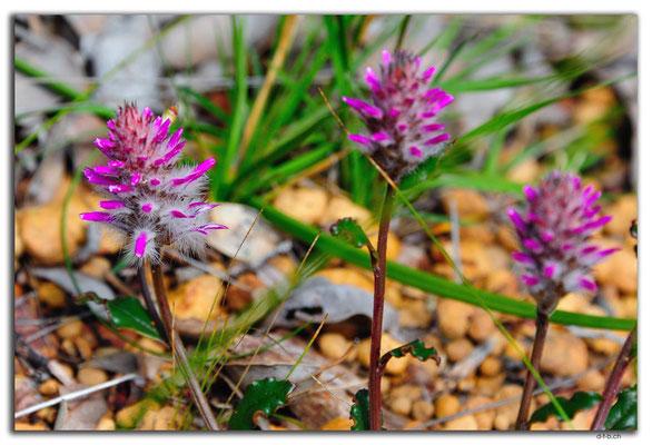 AU0681.Greenmount N.P.Blume