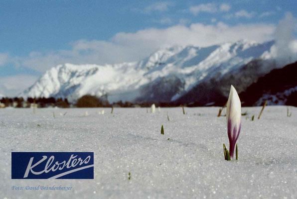P0011.Krokus im Schnee.Klosters.CH