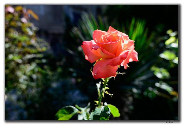 GE0149.Tbilisi.Rose