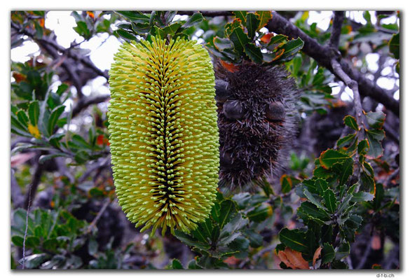 AU0833.Bandalup.Banksia