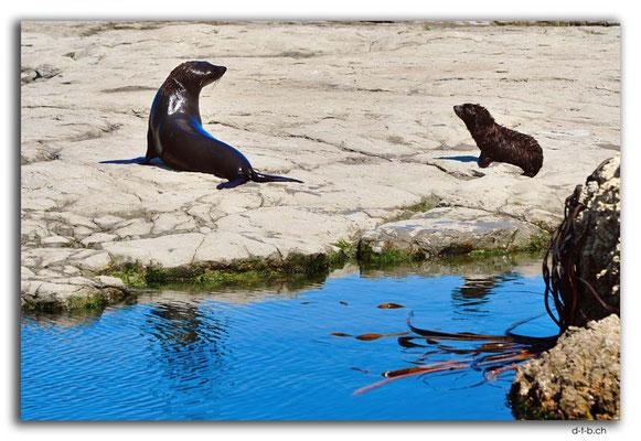 NZ0708.Kaikoura.Peninsula.Seals