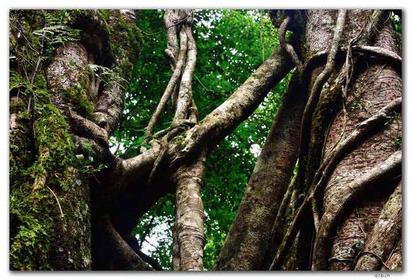 ID0190.Bedugul.Bot.Garten.Giant Fig Tree