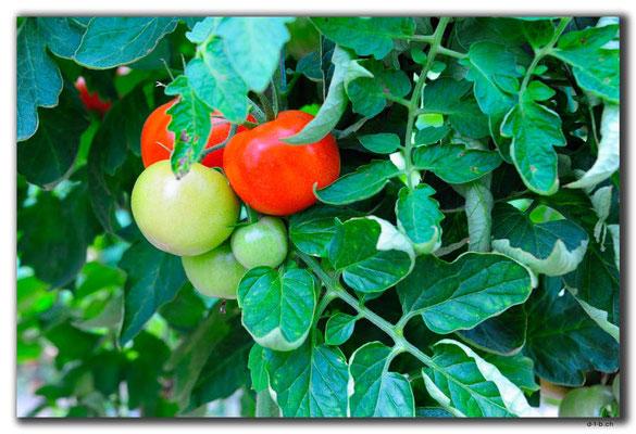 TR0231.Tomatenplantage