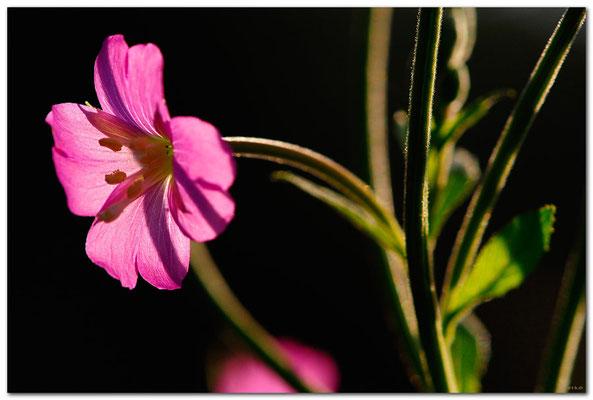 DE130.Jüchen.Blüte