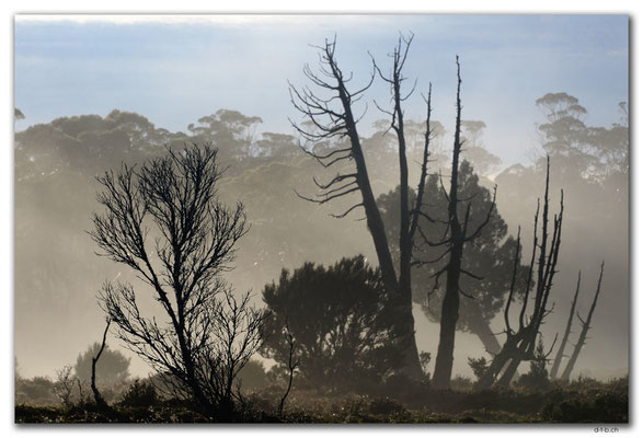 AU1363.Overland Track.Trees in the morning mist